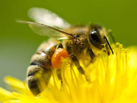 Honey bees, natures bee pollen extractors and pollenators